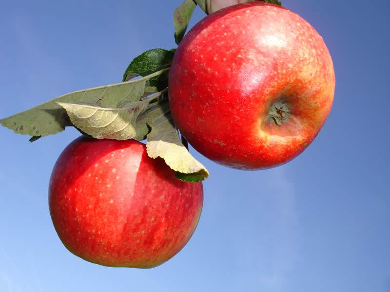 Apfelsorte Diana